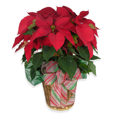 The red poinsettia has been a holiday favorite for generations…and for a very good reason. It practically shouts &quot;Merry Christmas&quot;!
