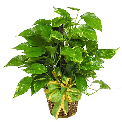 A Wylie Flower Shop exclusive. The pothos plant has heart shaped leaves with vines attached to a decorative pole and is often referred to as a &quot;Pole Ivy&quot; or &quot;Ivy Pole&quot;. The pothos plant is the most common plant kept in houses all over the world. The reason for this is that it is very easy to maintain. There is no need for direct sunlight as it can be grown in your living room as well. Pothos are high on the list of plants that can help purify indoor air.<br/><br/>