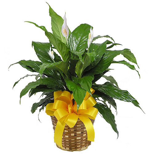 Wylie Flower Shop exclusive. The spathiphyllum or peace lily is a  popular indoor plant which has originated from tropical regions of America and south-east Asia. This dark leafy plant with its delicate white blossom requires little water and sunlight to grow and is an elegant gift  considered to be an attractive indoor plant and a spiritual symbol of Christmas.<br/><br/>